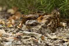 Red-necked Nightjar (Caprimulgus ruficollis) Red-necked Nightjar and chick resting in late evening in Jerez   the Internet Bird Collection   HBW Alive