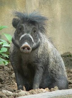animals of the Philippines | ... Pig, is one of four known pig species endemic to the Philippines