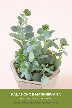 This blue-green succulent has thin round leaves that group up a tall, vertical stem. The leaves grow up the stem opposite of each other, facing the stem as they grow upwards. The edges of the leaves turn a reddish-pink when happily stressed. Cactus Plante, Pot Plante, Container Herb Garden, Container Plants, Succulent Containers, Container Size, Cacti And Succulents, Planting Succulents, Organic Gardening