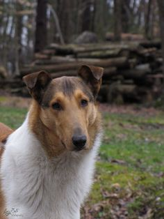Smooth Collie dog photo | Recent Photos The Commons Getty Collection Galleries World Map App ...