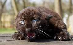 This baby African leopard who lives in a wildlife parc had just been vaccinated and does not seem to appreciate it.