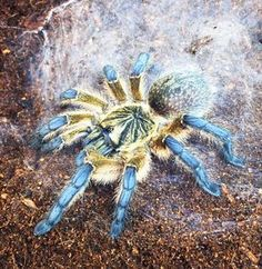 Poecilotheria Metallica (Tarantula) only found in a small area th ...