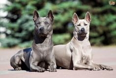 Read indepth Thai Ridgeback Dog breed facts including popularity rankings, average prices, highlights and buying advice from Wild Animals Photos, Animals And Pets, Tyrannosaurus, Dog Bucket List, Protective Dog Breeds, Guard Dog Breeds, Thai Ridgeback, Rare Dogs, Cute Dogs Breeds