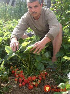 Všetko, čo potrebujete vedieť o pestovaní jahôd.