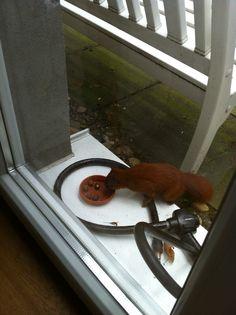 gemeines Haus-Eichhörnchen