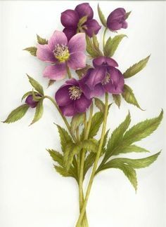 Gallery.ru / Фото #22 - Vincent Jeannerot - oltatjana Botanical Drawings, Botanical Prints, Flower Prints, Flower Art, Flower Clips, Watercolor Flowers, Watercolor Paintings, Watercolours, Illustration Blume