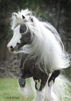 Austin- Chocolate Silver Dapple Gypsy Vanner Stallion
