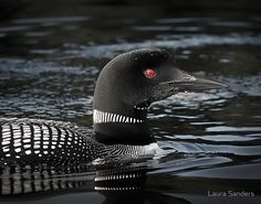 Loon in Algonquin Park