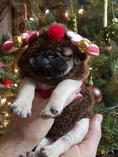Cutest little reindeer ever! #pug