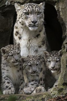 Snow leopard mom and triplet cubs
