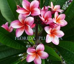 Plumeria Care in Florida;Plumerias grow well in Florida,& California,&  Hawaii . Australia seems like a good bet too.Plumeria will grow anywhere they neednt fear a freeze.They can be grown from seed,but if you want a duplicate of the parent tree,use cuttings.Plumeria blossoms are more fragrant at night-& that divine fragrance can be easily extracted via enfleurage.A Plumeria tree full of fragrant blossoms is a glorious sight.The scent of the blossoms reminds me of ripe apricots-or Sweet…