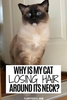 Why do cats lose hair around their necks? | Cat Hair Loss | Cat Hair Loss Remedies | Cat Hair Loss Treatments | Cat Losing Hair on Neck | Why is My Cat Losing Hair | Cat is Losing Hair | Cat Fur Loss | Animal and Pet Supplies | Cat Tips