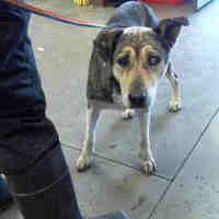 PHOENIX, AZ - URGENT! TOASTY is a German Shepherd/HUSKY  Dog for adoption who needs a loving home.