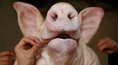 Pig heads dumped at Moroccan ambassador's home amid anti-Muslim hate crime spike in France  http://pronewsonline.com  © Kham
