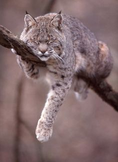"""Ways to improve your wildlife photography Composition, by Andrew Goodall. Image titled """"Bobcat"""", by Ed Harp."""