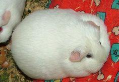 fat rabbit ? fat mouse ?