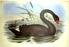"John Gould Western Australian Black Swan Cygnus Atratus Reproduction print from a hand-coloured lithograph of the famous ""Birds ofAustralia"" by John Gould, published in London between 1840 and 1848.The original hand-coloured lithograph was by Henry Richter from the drawing by John Gould. http://www.heritage-editions.com.au/p-2153-12-john-gould-western-australian-black-swan-cygnus-atratus.aspx"