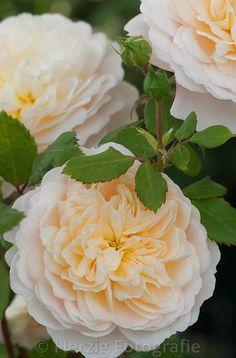 """Rose 'Crocus Rose """"- English Rose, David Austin 2000"""