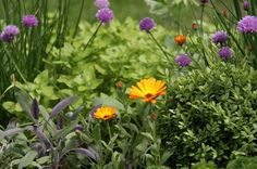Missing out on amazing herbs that turn your simple dishes into gourmet meals? Add a few more to your herb pots with these easy to grow perennial herbs.