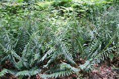 This week's Plant Pick of the Week is Christmas fern, a native fern that makes a lush colony in the shade.