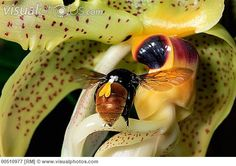 Bee (Eulaema sp) visiting Orchid (Stanhopea wardii) note pollinaria on bee, cloud forest, Costa Rica