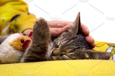 small cute kitten Photos girl caresses cute sleeping kitten by Photo for You