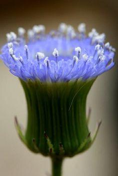 Asteraceae..