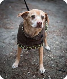 Buddy is a senior Beagle mix up for adoption at the Humane Society of New York.