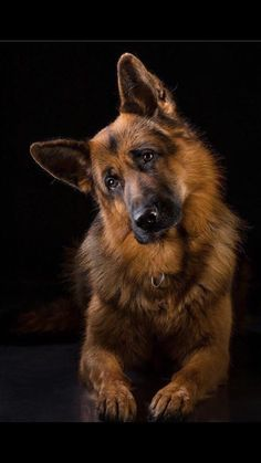 Best Dogs And Puppies German Shepherd Ideas German Shepherd Pictures, German Shepherd Puppies, German Shepherds, Aussie Puppies, Cute Dogs And Puppies, Doggies, Beautiful Dogs, Dog Pictures, Best Dogs