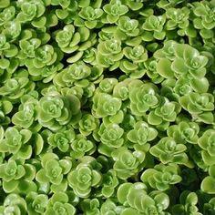 Orpin Sedum makinoi 'Limelight'   Rond, feuilles vert clair sur un couvre-sol se propager. Attrayant pour les papillons. Cerfs résistant. Facile à cultiver dans bien drainé moyenne. Plantes résistantes à la sécheresse qui sont particulièrement adaptés à une utilisation dans les rocailles ou en bordures.   {Je dois essayer celui-ci à l'intérieur. J'aime la texture.}