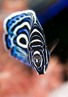 Juvenile Emperor Angelfish! We had a couple of these in the tank at Islamorada Fish Company! <3