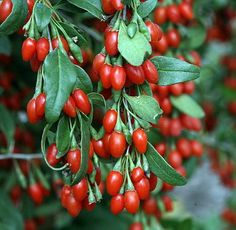 "Sweet Lifeberry ® Goji Berry Plant - Lycium - The Super Fruit - 4"" Pot"