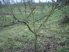 Fruitwise guide: Pruning apple trees [Part 1] ~ A guide for the two trees in my yard!