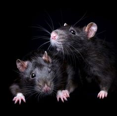 """""""I would love people to consider adopting rats — and any other animal — from animal shelters, or at least responsible breeders if they can't find rescue ones."""" (Diane Ozdamar/Caters News)"""