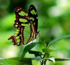 lovely green butterfly - © Renata Souza - www.flickr.com/photos/resouzaesouza/2259792351/in/gallery-47303768@N06-72157623368192844/