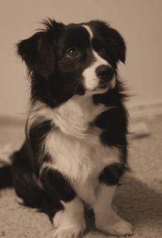 Border collie mixed with a Bassett??  Bassett collie?   Border hound?