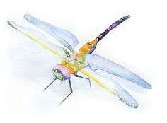 Dragonflywatercolor giclée reproduction.Landscape/horizontal orientation. Printed on fine art paper using archival pigment inks. This quality printing allows o