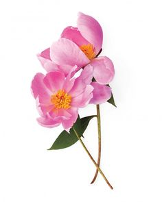 Tips for growing peonies