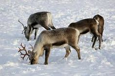 Reindeer are adapted to the chilly climes of the Arctic tundra, including Scandinavia (shown), as they sport hollow hairs that air and act as insulation. (polar bears have hollow hairs too) Reindeer Facts, Real Reindeer, Artic Animals, Moose Deer, Arctic Tundra, Deer Family, Cute Babies, Wildlife, Images