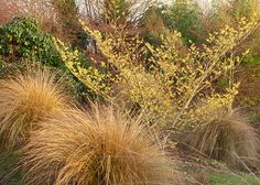 This combination of witch hazel and Chionochloa rubra is a good basis for a winter-themed garden. To extend the flowering season fill the gaps between the grasses with spring- and summer-blooming bulbs and woodland perennials.