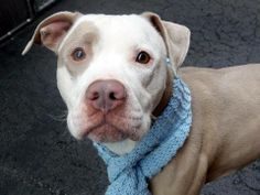 URGENT - Manhattan Center    PEETEY - A0994902    MALE, BROWN / WHITE, PIT BULL MIX, 3 yrs  STRAY - STRAY WAIT, NO HOLD  Reason STRAY   Intake condition NONE Intake Date 03/26/2014, From NY 10460, DueOut Date 03/29/2014,   https://www.facebook.com/photo.php?fbid=779212175424997&set=a.617938651552351.1073741868.152876678058553&type=3&permPage=1