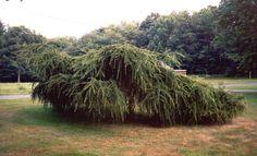 Rich's Foxwillow Pines Nursery, Inc. - Larix decidua – 'Varied Directions'European Larch