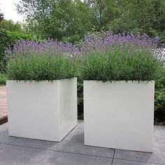 Lavender in tall glass, good proportion with the height of the plant.bac à fleurs . Lavender in tall glass, good proportion with the height of the plant. Bac à fleurs et dalles de béton In modern cities, .