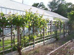 Pildiotsingu grape vine trellis in greenhouse tulemus