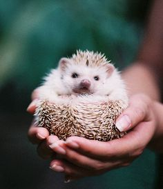wittle hedgehog I want one so bad!:)