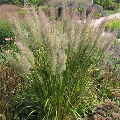 Calamagrostis brachytricha (Korean Feather Reed Grass) Tolerates some shade; inflorescence colorful when emerging. Blooms pink 3-5' Height: 3-4 ft Width: 3-4 ft Soil Conditions: Moist Flower Color: Burgundy Bloom Time: September Hardiness zones: 4-9