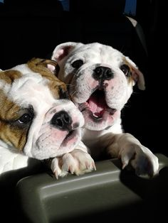 happy bulldog puppy face, priceless..