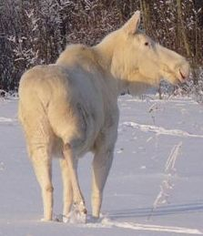 White moose: sacred to some tribes in Canada Moose Pictures, Animal Pictures, Beautiful Creatures, Animals Beautiful, Albino Moose, Zebras, Moose Deer, Moose Art, Rare Albino Animals