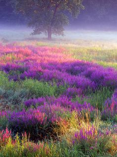 loosestrife meadow-looks pretty. That's the thing about loosestrife it's a thug disguised as a pretty plant. It takes over and kills out everything else and is a devastating plant especially to wetlands.  The sale of this plant is banned in many states.