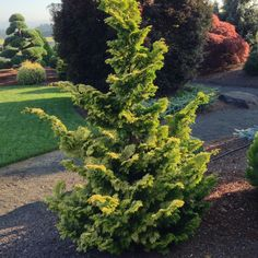 Hinoki Cypress Hinoki Cypress, Backyard Trees, Landscaping Plants, New Homes, River, Landscape, Outdoor, Ideas, Outdoors